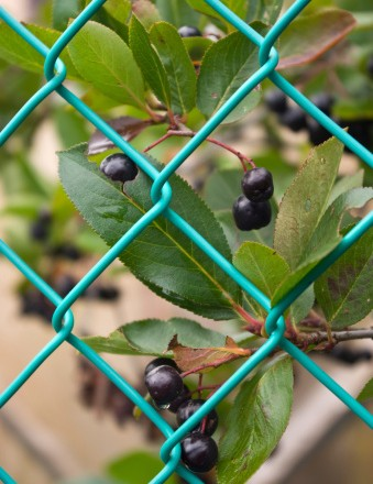 Chokeberries (Aronia) berries